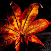 Day 49. August 26, 2010. While walking down Bryant St. in Downtown Palo Alto, I found this gorgeous leaf on the ground. By evening when I took this, it had already dried up somewhat, but it still retained most of its bright colors. I soaked it in water for about 5 minutes, then placed it on a black cloth. There's a weak, diffuse on-camera flash, and a moderate flash from behind the leaf to the right that shines through the leaf. Burned bottom right corner in post-processing, and sharpened.<br /> <br /> EF 100mm f/2.8L IS Macro @ f/3.5. 1/125s. ISO 100. 580EX II at 1/64 power, 430EX II from behind right at 1/16 power.