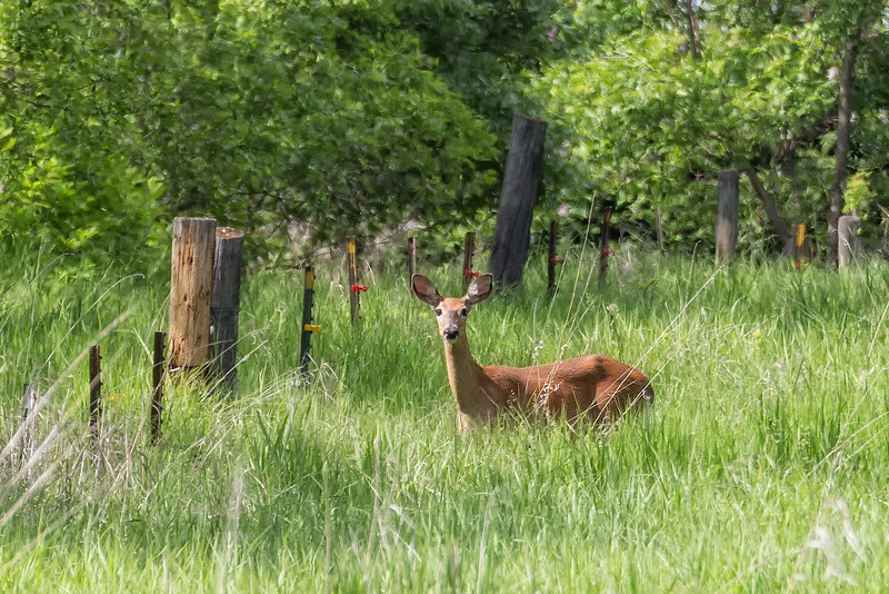 white-tailed deer<br /> Ran across this doe today and I take it she didn't have a fawn or knew the fawn was really safe as they are normally gone in a heartbeat when they with a fawn.