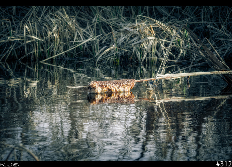 The Fallen<br /> Checking out the sloughs again and I would have to say that this cattail has seen better days.