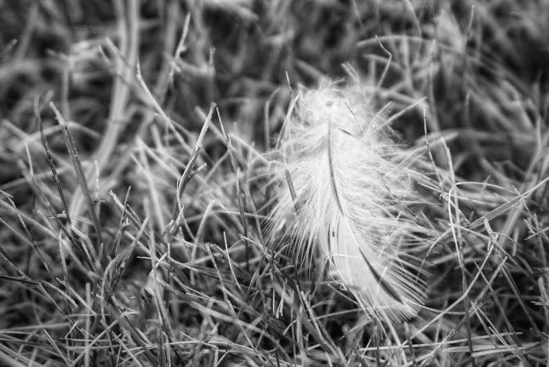 Feather<br /> Just a feather for monochrome monday