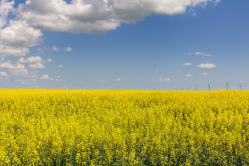 Canola<br /> Slowly the evil yellow stuff takes over stinking up the entire place, augh at canola, pure evil!