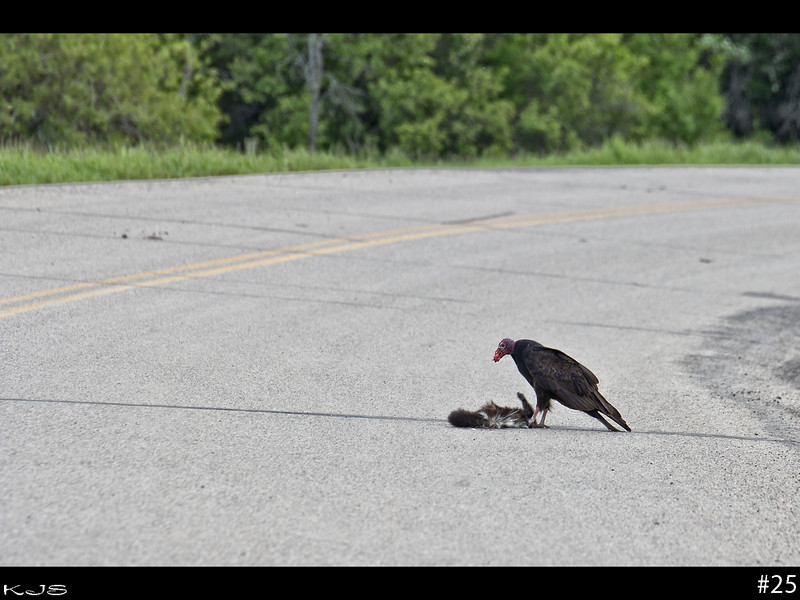 Road side cafe for this Turkey Vulture, which have got to be at the top of the list for most ugliest bird ever. This guy is chewing on a skunk, apparently they must not be able to smell. At least some thing is cleaning off the roads of roadkill.
