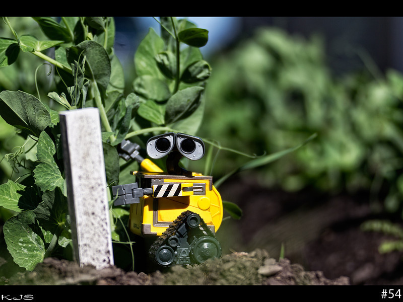Wall-e was checking on the garden after the heavy rains last night, no peas yet