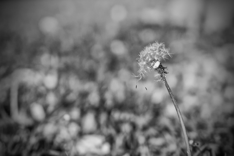 I was kind of surprised to see a Dandelion in the yard this late into the year.  We've had frost warning issued already so it won't be long before the killing frost comes in.  Freeze warning issued for tonight even, so time to bundle up again.
