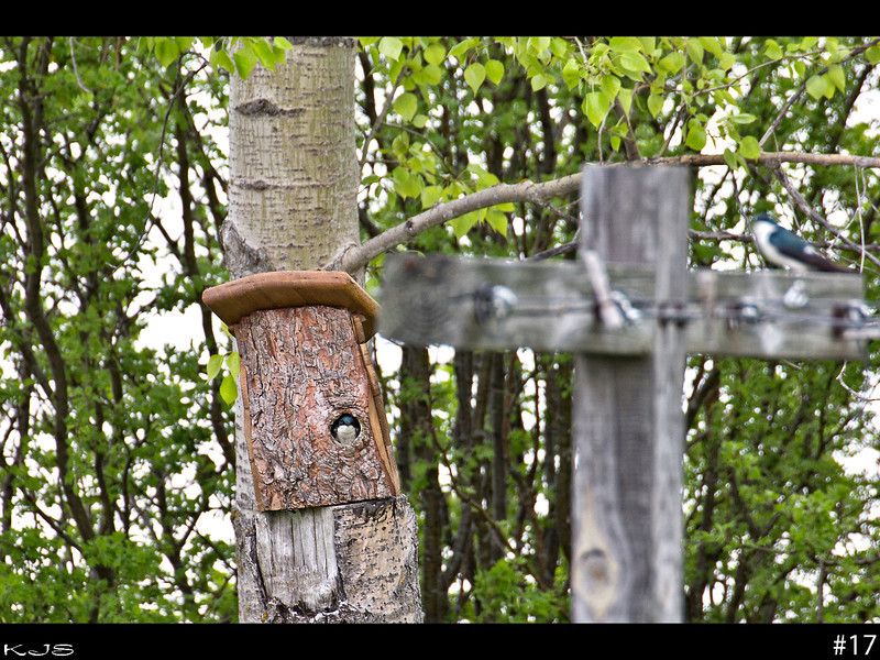 Parents - We had a tree snap off last year so it was sawed off and last Sunday this homemade bird house was placed on top of the stump.  These two new neighbors quickly turned it into a nest.  I assume that is the momma bird in the house and the daddy bird on the clothes line.  I don't know what kind of birds they are, but they remind me of a swallow type bird.  The are very noisy as they are very vocal about their territory.  You walk into the back yard and they are just screeching up a fit and same if other birds are in the area.  We actually have quite a few birds nesting in the trees here.  With the weather the way it is, they are taking advantage of the houses.