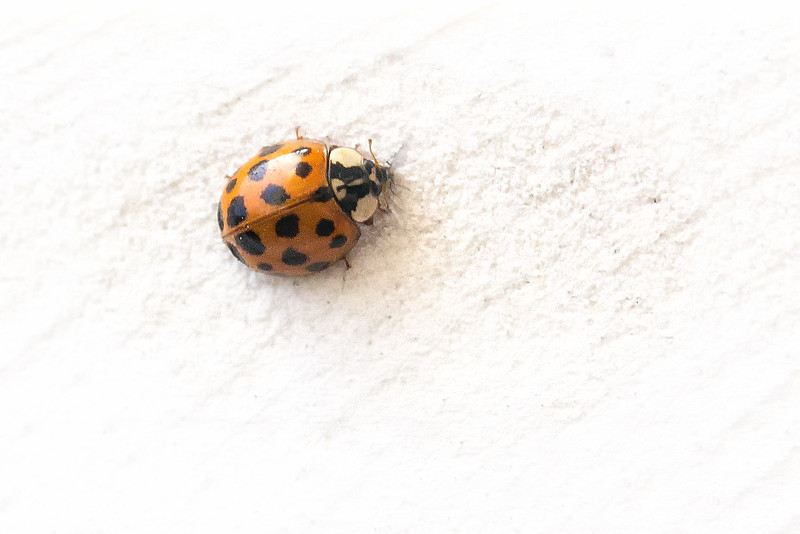 Infestation<br /> This week the Asian Lady Beetle arrived around the yard by the millions. Apparently they are good at predator of aphids and scale on trees, shrubs, and crops. Kind of annoying tho to have in your yard by the millions.