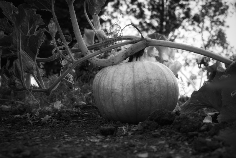 Pumpkin<br /> About the only thing left in the garden is a few pumpkins. MonochromeMonday