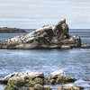 0825 textured<br /> <br /> The gulls and cormorants do their own texturizing of this rock.