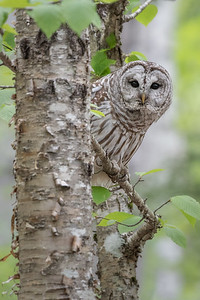 #731 Barred Owl