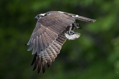 #719 Osprey