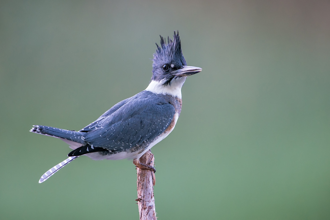 #767 Belted Kingfisher