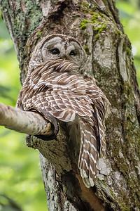 #755 Barred Owl