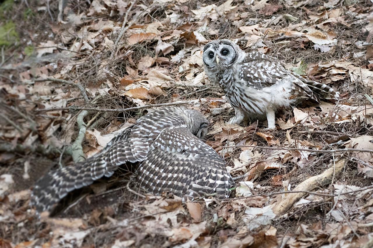 #758 Barred Owlets