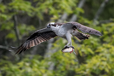 #726 Osprey