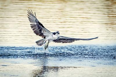 #738 Osprey