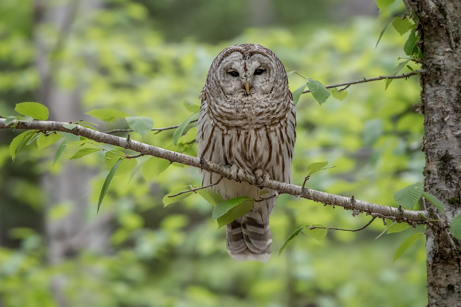 #732 Barred Owl