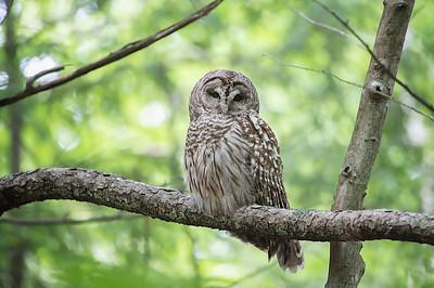 #745 Barred Owl