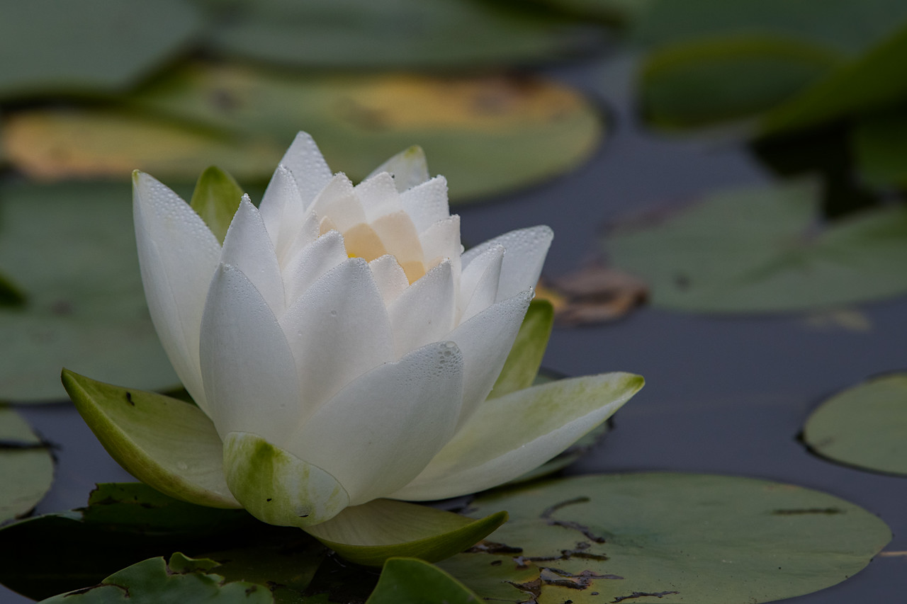 #766 Water Lily