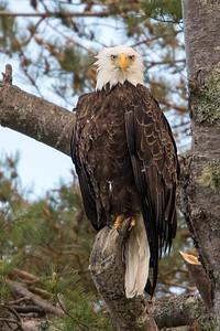 #730 Bald Eagle