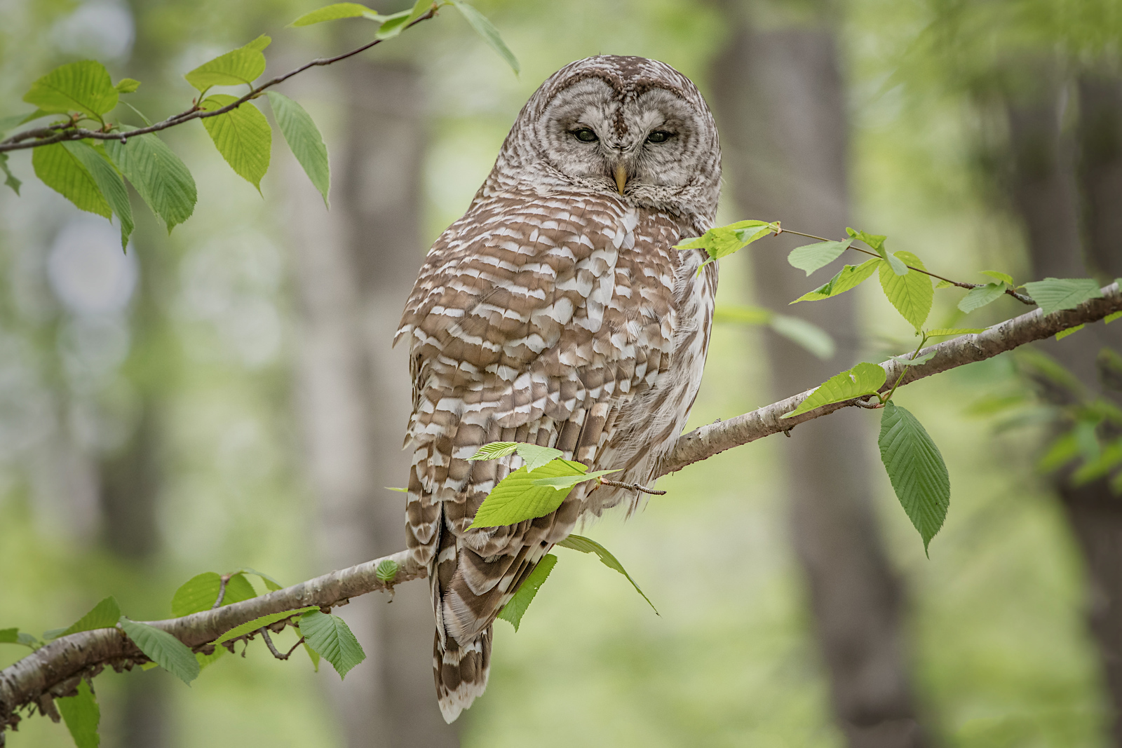 #735 Barred Owl