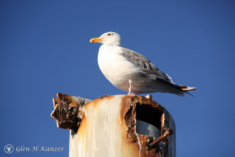just a very maritime looking seagull