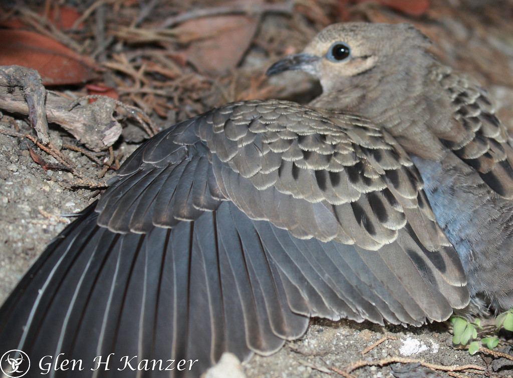 The wings of a Morning Dove