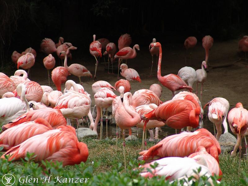 Flamingos at the Los Angeles Zoo