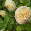"Jun 12 - Word of the Day - Rose<br /> 50/50 Sub-Project: 50 Days of 50mm (12/50)<br /> One of the climbing roses that I planted last year. I love David Austin roses! I have planted about 15 in my garden over the last 2 years... all but 2 survived and are thriving. :)<br /> Just-4-June <a href=""http://365project.org/discuss/themes-competitions/17998/just-4-june"">http://365project.org/discuss/themes-competitions/17998/just-4-june</a><br /> OM-D E-M5; Olympus OM 21mm f/3.5 <br /> SOOC"