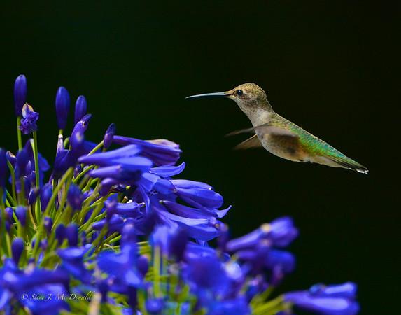 7/20/14 Hummingbird