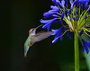 RUFOUS HUMMINGBIRD 0154  00106