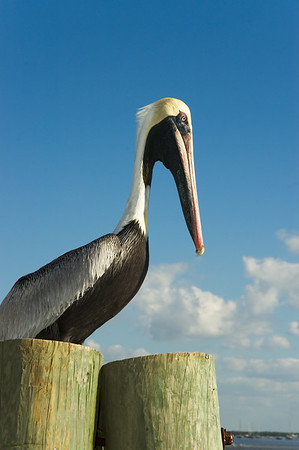 Pelican on Dock
