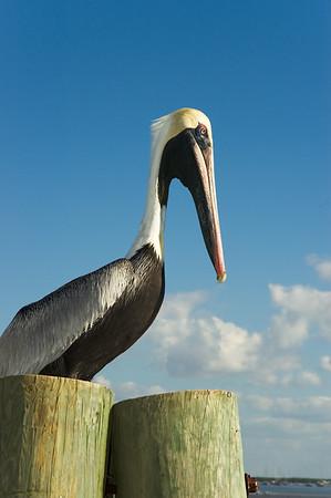 Pelican on Dock