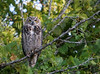Who goes there.<br /> (8-11-07)<br /> <br /> This is a first for me. My first wild owl.  When I saw this bird, it was flying off in the distance with a smaller bird harassing it.  I thought it might be a Red Tailed Hawk.  I made my way over to where it had landed in a tree, and as I got closer, I realized it was a big owl.  I'm pretty sure it's a Great Horned Owl.