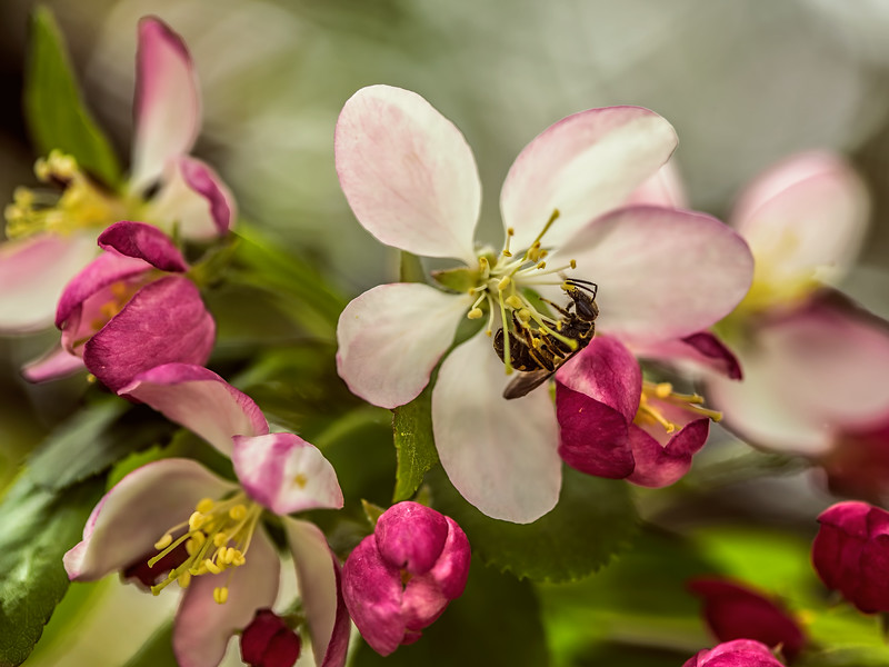 2014-04-22. Bee and Blossom.<br /> Thank you for your comments/views yesterday.