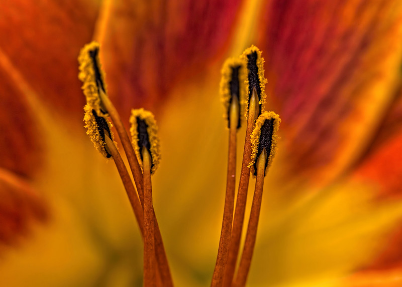 Anthers of a Daylily