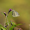 White Butterfly ...<br /> Thank you Rick for your kind comment :-) I like the shallow DOF of the 600mm, to blur the BG, but other than that, I did use Topaz Clarity, to sharpen it up a bit. Also I'm loving the VC of the Tamron, I think it's a great lens.