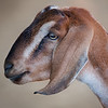 Nubian Goat<br /> San Diego Sea World