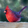 2015-01-08. Northern Cardinal.<br /> I feel so bad for these guys. It's way too cold today, -2, and then the wind made it worse.<br /> <br /> Thank you so much for your kind words on my recent photos.<br /> <br /> Karen.