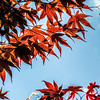 2014-05-01. Japanese Maple.<br /> Thank you for the views/comments yesterday.