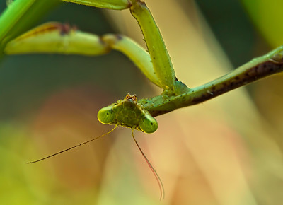 2013-10-07. Another Praying Mantis.  Thanks for the comments on my Mantis photo from yesterday!