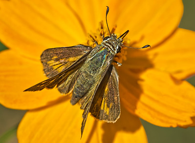 2013-10-08. Skipper. Overhead View.  Thank you for all the wonderful comments on my Mantis shots!