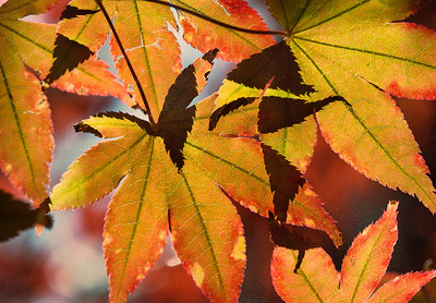 2014-10-29. Fall Leaves Abstract. From our Japanese Maple tree.  Thank you for your views/comments on yesterday's photo!  Karen