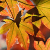 2014-10-29. Fall Leaves Abstract. From our Japanese Maple tree.<br /> <br /> Thank you for your views/comments on yesterday's photo!<br /> <br /> Karen
