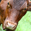 2013-07-28. Overly Curious Cow. She got a little too Close to the Camera :)<br /> <br /> Thank you for your comments on my little skippers photo yesterday!