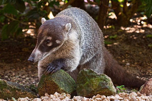 2013-11-21. Coati Mundi -- Tropical Raccoon Iberostar Resort south of Cancun in the Riviera Maya, Mexico.  Thanks so much for the wonderful comments on my pea.... photo yesterday!