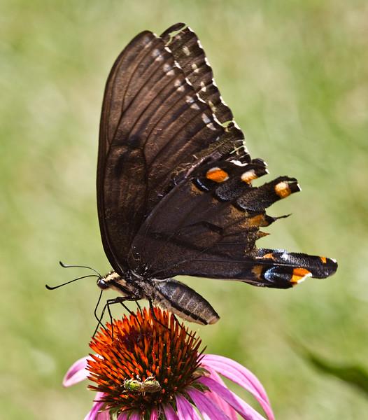 Swallowtail Butterfly with Broken Wings
