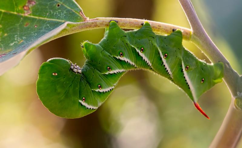 2014-10-22.<br /> Tobacco Hornworm