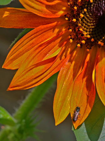 2013-07-09. The Sunflower and the Fly.  Thank you for the comments on my cone flower photo!