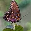 2014-12-04. Red Spotted Purple Butterfly (limenitis arthemis)<br /> Redo on 12/1/14.