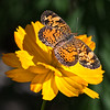 2013-09-26. Pearl Crescent Butterfly